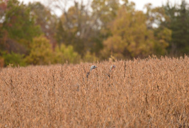 October hunting beyond whitetails: calling fall turkeys
