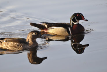 Waterfowl hunting time: scouting small-water ducks