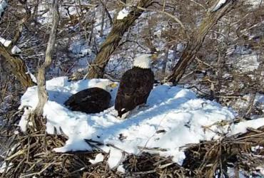 Bald eagle eggs finally come