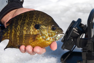Aggressive crappies and sunfish through the hard water of March