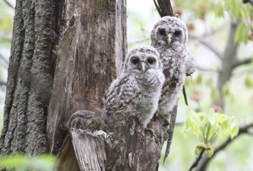 Images, video: A glimpse into the life of barred owls, owlets