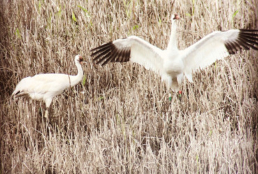 Endangered whooping cranes expanding their range out of Wisconsin