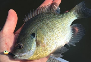 Fishing tips: vertical jigging for panfish during the dog days of summer