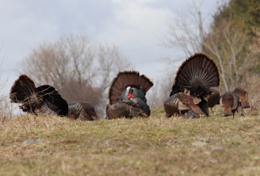 Young Maine hunters might get own season for wild turkeys