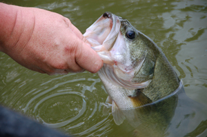 Eight basic tips for catching bass