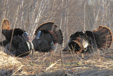 Better turkey timing via trail cameras