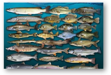 Free Download: Game Fish of WI ID Chart