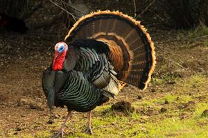 Turkey Hunting Tips: Preparing for the spring hunt